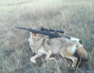 nate.nemitz.shepherd-coyote